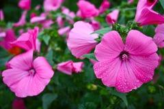 Schöne, empfindliche Blumen Lavater Stockfotos