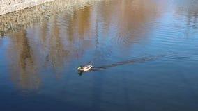 Schöne Ente, die entlang den See schwimmt stock video footage