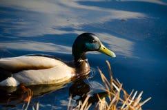 Schöne Ente, die von rechts nach links Seiten des Bildes schwimmt Stockfotos