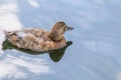 Schöne Ente im Teich Stockbild