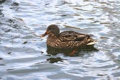 Schöne Ente in kaltem Wasser 1 stockbilder