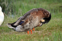 Schöne Ente in Südafrika Stockfotos
