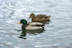 Schöne Enten in kaltem Wasser 2 lizenzfreie stockfotografie