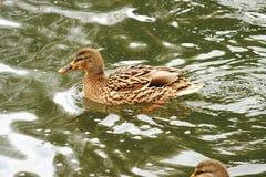 Schöne Enten in kaltem Wasser 4 lizenzfreie stockbilder