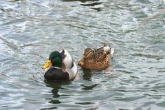Schöne Enten in kaltem Wasser 8 stockfotos