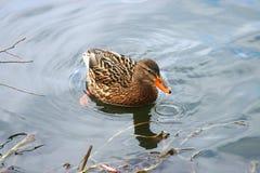 Schöne Enten in kaltem Wasser 14 lizenzfreie stockfotografie