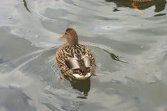 Schöne Enten in kaltem Wasser 15 lizenzfreies stockbild