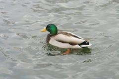 Schöne Enten in kaltem Wasser 16 lizenzfreie stockfotos