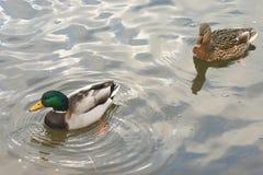 Schöne Enten in kaltem Wasser 18 stockbilder