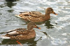 Schöne Enten in kaltem Wasser 23 stockbilder