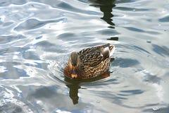 Schöne Enten in kaltem Wasser 24 lizenzfreies stockbild