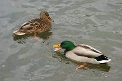 Schöne Enten in kaltem Wasser 30 Stockbilder