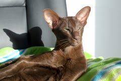 Schöne entspannte Katze des dunklen Brauns stockbild