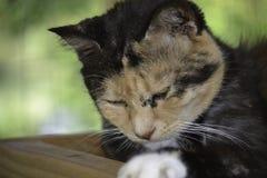 Schöne erhaltene schläfrig und Nickerchen machende Katze Lizenzfreies Stockbild