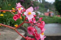 Schöne erstaunliche und verschiedene rosa gelbe und weiße Blumen in Colonia tovar; s-Stadt Venezuela stockbilder