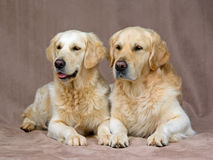 Schöne erwachsene goldene Apportierhunde Stockfoto