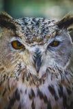 Schöne Eule mit intensiven Augen und schönes Gefieder Stockbilder