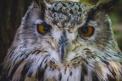 Schöne Eule mit intensiven Augen und schönes Gefieder Stockfotografie