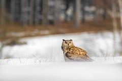 Schöne Eule von Russland, Ostsibirier Eagle Owl, Bubo Bubo, sitzend im Schnee Winterszene mit majestätischer seltener Eule mit Wa Lizenzfreie Stockfotografie