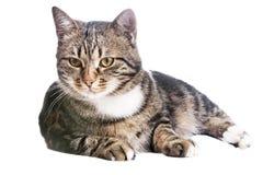 Schöne europäische Katze Stockfoto