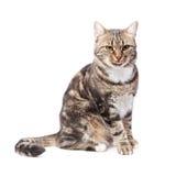 Schöne europäische Katze auf einem Weiß Lizenzfreies Stockbild