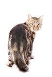 Schöne europäische Katze auf einem Weiß Lizenzfreie Stockfotografie