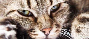 Schöne europäische Katze der Nahaufnahme Lizenzfreies Stockfoto