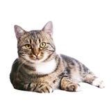 Schöne europäische Katze, die auf einem Weiß liegt Stockfotografie