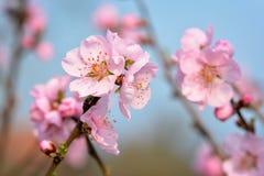 Schöne europäische rosa Pflaumenblütenblume auf Baum im Vorfrühling auf undeutlichem blauem Hintergrund lizenzfreie stockfotografie