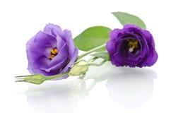 Schöne Eustomablumen Stockbild