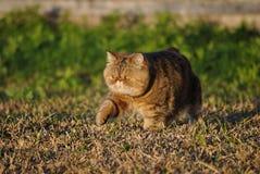 Schöne exotische shorthair Katze Stockfoto