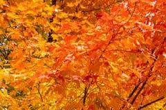Schöne Fallbäume Stockfotos