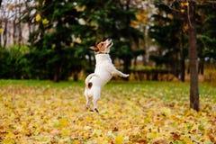 Schöne Fallherbstsaisonszene mit glücklichem aktivem Hund lizenzfreies stockbild