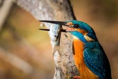 Schöne Farbe Eisvogelessens blau und braun lizenzfreie stockfotografie