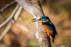 Schöne Farbe Eisvogelessens blau und braun stockbild