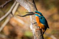 Schöne Farbe Eisvogelessens blau und braun stockfotos