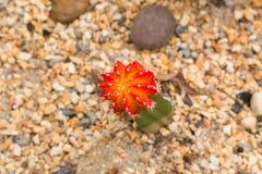 Schöne Farben des Kaktus Stockfoto