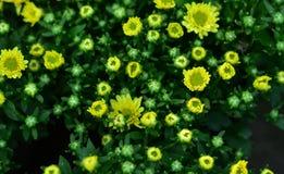 Schöne Farben kleinen gelben Blumen Interviews Stockfoto