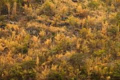 Schöne Farbherbstbäume in einem Gebirgswald Lizenzfreies Stockfoto