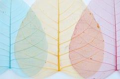 Schöne farbige Adern von Bantambaumblättern Lizenzfreie Stockfotografie