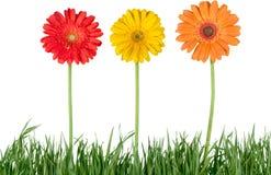 Schöne farbige Blumen im Grün grassisolated Lizenzfreies Stockfoto