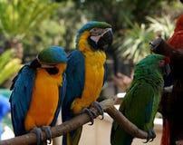 schöne farbige Papageien auf dem branche Stockbilder