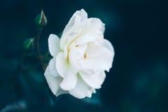 Schöne feenhafte träumerische magische weiße beige sahnige Rosen blüht auf verblaßtem undeutlichem grün-blauem Hintergrund Stockfotografie