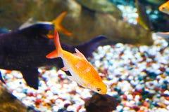 Schöne Fische - Aquarium Dubai lizenzfreie stockfotos