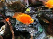 Schöne Fische im Aquarium, Goldfisch, Aquarium, ein Fisch auf dem Hintergrund von Algen Stockfoto