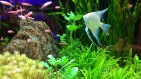 Schöne Fischschwimmen auf Aquarium stock video footage