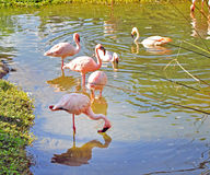 Schöne Flamingos in einem Fluss Stockbild