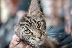 Schöne flaumige graue junge Maine Coon-Katze starrt große schöne intelligente Augen die Linse an Porträt stockfotografie