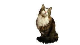 Schöne flaumige Katze starrt aufwärts in Erwartung einer köstlichen Mahlzeit an Stockfotografie