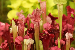 Schöne Fleisch fressende rote und grüne Kannenpflanzen Stockfoto